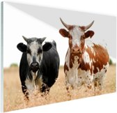 Twee koeien in Zuid-Afrika Glas 120x80 cm - Foto print op Glas (Plexiglas wanddecoratie)