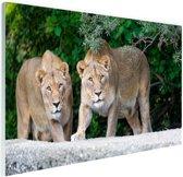 Twee leeuwinnen Glas 90x60 cm - Foto print op Glas (Plexiglas wanddecoratie)
