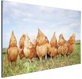 Kippen in het veld Aluminium 90x60 cm - Foto print op Aluminium (metaal wanddecoratie)