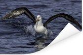 Reuzenalbatros vliegt uit het water Poster 90x60 cm - Foto print op Poster (wanddecoratie woonkamer / slaapkamer)