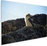 Een kookaburra of lachvogel op een rots gedurende een zonnige dag Plexiglas 180x120 cm - Foto print op Glas (Plexiglas wanddecoratie) XXL / Groot formaat!