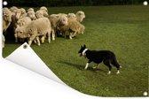 Border Collie die de schapen in een groen weiland hoedt Tuinposter 90x60 cm - Tuindoek / Buitencanvas / Schilderijen voor buiten (tuin decoratie)