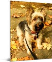 Een Yorkshire Terrier tussen de gevallen herfstbladeren Aluminium 120x160 cm - Foto print op Aluminium (metaal wanddecoratie) XXL / Groot formaat!
