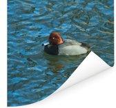 Roodkopeend in ligt-golvend blauw water Poster 75x75 cm - Foto print op Poster (wanddecoratie woonkamer / slaapkamer)