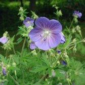 3 x  Geranium Pratense - Donkere Ooievaarsbek pot 9x9cm