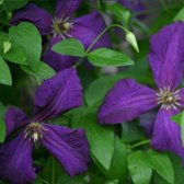 Clematis Polish Spirit - Klimplant     blauw-paars