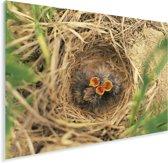 Leeuwerik Kuikens in hun nest Plexiglas 80x60 cm - Foto print op Glas (Plexiglas wanddecoratie)