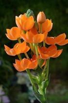 Ornithogalum Dubium Flowers Journal