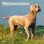 Weimaraners Kalender 2020