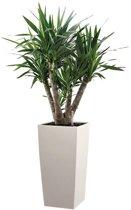 Yucca Elephantipes in watergevende pot