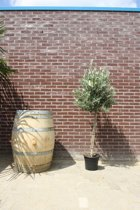 Olijfbomen Tuin- en balkonplant Olijfboom - Hoogte: 150cm
