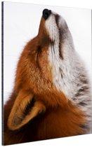 Vos met neus omhoog Aluminium 20x30 cm - klein - Foto print op Aluminium (metaal wanddecoratie)