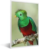 Foto in lijst - Portret van een felgekleurde Quetzal fotolijst wit 40x60 cm - Poster in lijst (Wanddecoratie woonkamer / slaapkamer)