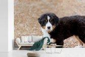 Fotobehang vinyl - Berner Sennenhond puppy in de ochtend breedte 450 cm x hoogte 300 cm - Foto print op behang (in 7 formaten beschikbaar)