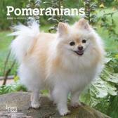 Pomeranians 2020 Mini 7x7
