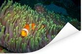 Clown vis zwemmend door knalgroen koraal Poster 180x120 cm - Foto print op Poster (wanddecoratie woonkamer / slaapkamer) XXL / Groot formaat!