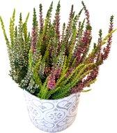 Heideplant Tricolor Met Overpot
