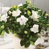 Gardenia Plant. Ruikt Zo Lekker! Kantoor of huis plant.