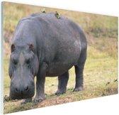 Nijlpaard op het droge Glas 90x60 cm - Foto print op Glas (Plexiglas wanddecoratie)