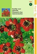 2 stuks Adonis Aestivalis Roodbloeiend
