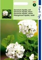 Geranium Apollo - Pelargonium zonale - set van 3 stuks