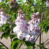 Syringa vulgaris 'Belle de Nancy' - Sering 40-60 cm in pot