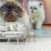 Fotobehang vinyl - Twee schattige Perzische kittens breedte 510 cm x hoogte 380 cm - Foto print op behang (in 7 formaten beschikbaar)