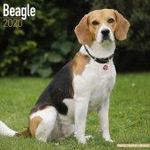 Beagle Kalender 2020