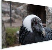 Een portret van een Andescondor Plexiglas 180x120 cm - Foto print op Glas (Plexiglas wanddecoratie) XXL / Groot formaat!
