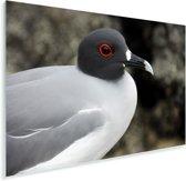 Een close up van een Zwaluwstaartmeeuw Plexiglas 90x60 cm - Foto print op Glas (Plexiglas wanddecoratie)