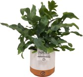 Phlebodium 'Blue Star' in keramieken sierpot - Zinkvaren - Luchtzuiverende plant - ↑ 30-40cm - Ø 12cm