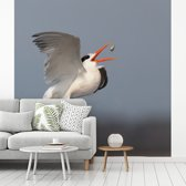 Fotobehang vinyl - Een Californische kuifstern vangt zijn voedsel breedte 300 cm x hoogte 300 cm - Foto print op behang (in 7 formaten beschikbaar)