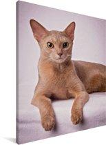 Studioportret van een oranje Abessijn kat Canvas 60x80 cm - Foto print op Canvas schilderij (Wanddecoratie woonkamer / slaapkamer) / Huisdieren Canvas Schilderijen