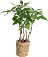 Green is® - Pachira aquatica oftewel Watercacao Geldboom - Kamerplant in Mand ⌀17 cm - Hoogte: 45 cm