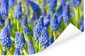 Veld met blauwe bloemen van de druifhyacint Poster 180x120 cm - Foto print op Poster (wanddecoratie woonkamer / slaapkamer) XXL / Groot formaat!