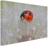 Lieveheersbeestje op paardebloem Canvas 30x20 cm - klein - Foto print op Canvas schilderij (Wanddecoratie woonkamer / slaapkamer) / Dieren Canvas Schilderijen