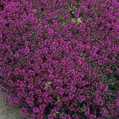 6 x Thymus Praecox 'Purple Beauty' - Tijm pot 9x9cm