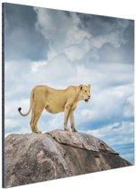Leeuwin op rots Aluminium 40x60 cm - Foto print op Aluminium (metaal wanddecoratie)
