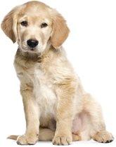 Muursticker KEK Amsterdam - golden retriever puppy