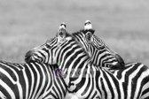 Schilderij - Zebra liefde in zwart wit