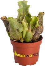Swampworld Sarracenia Venosa P9 - Vleesetende Plant - Trompetbekerplant + Gekleurde Pot