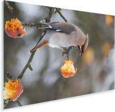 Pestvogel eet van een appeltje Plexiglas 60x40 cm - Foto print op Glas (Plexiglas wanddecoratie)