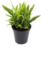 Asplenium scolopendrium 'Angustifolia'; Totale hoogte ± 30cm incl. 1,7 Ltr. pot   Tongvaren 'Angustifolia'   Zeldzaam in Nederland