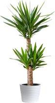Yucca 2 stam Ca. 75cm Hoog. Mooie Huiskamer of Kantoor plant