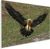 Landende Lammergier met gestrekte vleugels Plexiglas 90x60 cm - Foto print op Glas (Plexiglas wanddecoratie)
