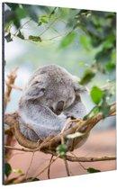 Zittende koala met bladeren Aluminium 80x120 cm - Foto print op Aluminium (metaal wanddecoratie)
