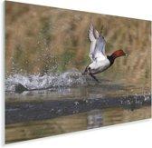 Tafeleend vliegt weg uit het water Plexiglas 180x120 cm - Foto print op Glas (Plexiglas wanddecoratie) XXL / Groot formaat!