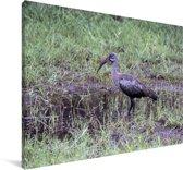 De African Hadada ibis in Oeganda Canvas 180x120 cm - Foto print op Canvas schilderij (Wanddecoratie woonkamer / slaapkamer) XXL / Groot formaat!