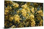 Close up van de gele acacia kleuren Aluminium 30x20 cm - klein - Foto print op Aluminium (metaal wanddecoratie)
