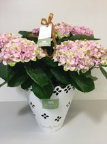 Magical Revolution - hortensia - roze - 14 cm - in cadeauverpakking - magical moments